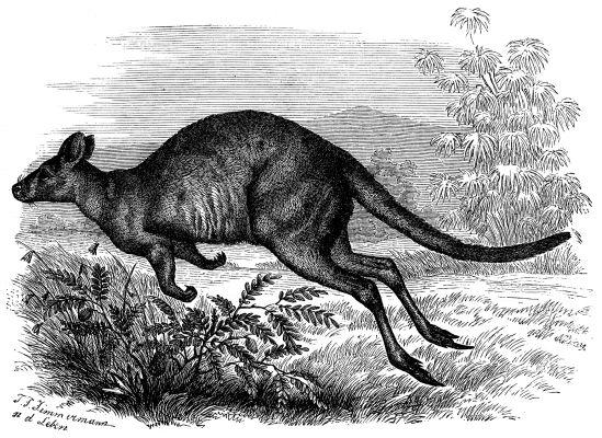 The Kangaroo's Tale