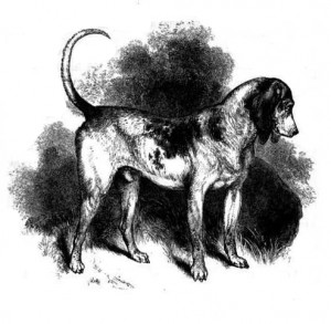 An illustration of the Southern Hound. From J.H. Walsh, The dog, in health and disease, by Stonehenge (1859). Source: Wikimedia Commons.
