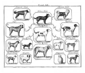 Dog Species Chart, from Buffon's Natural History. Image Credit: http://vintageprintable.com/wordpress
