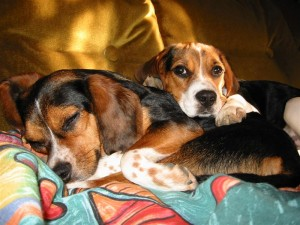 Some degenerate beagles just lazing around. Image Credit: Brodo, Wikimedia Commons, 2006.