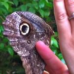 antonia_amethyst_owl_butterfly