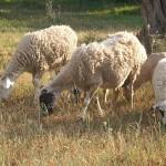 Wikimedia commons: modern Greek sheep