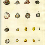 The Duchess's Shells