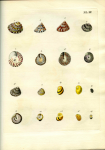 Plate III from Emanuel Mendes da Costa, The British Conchology (London, 1778). The shells like these would have been in the duchess's collection, some of which she would have collected herself along England's southern coast.