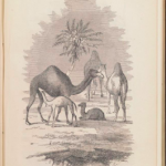 Military Camels/Baby Camels: Science & Domesticity