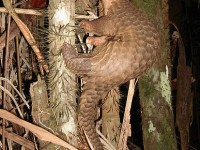What is it About the Pangolin?