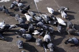 pigeons street