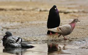 pigeon puddle