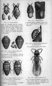 Phylloxera diagram
