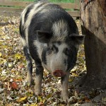 An Ossabaw Pig. Photo credit: livestockconservancy.org